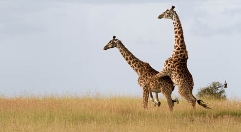 """Just in case any of you were wondering how that whole """"Giraffe reproduction thing"""" pans out..... 