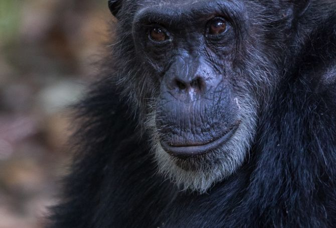 Bonobo is a Chimp?