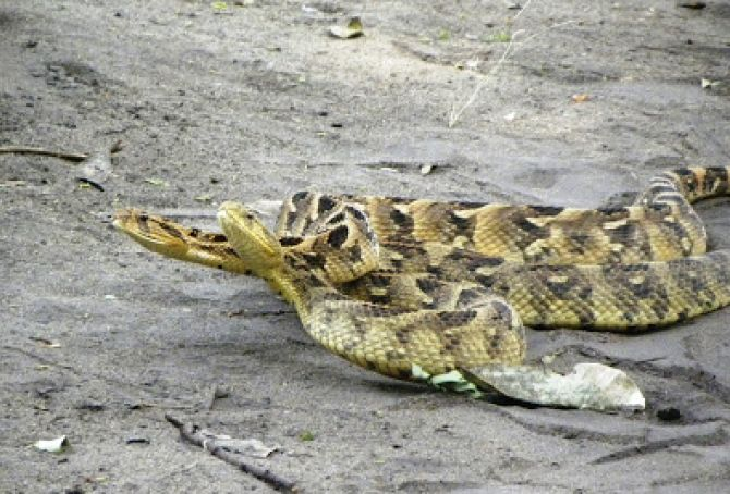 Mating Puff Adders!
