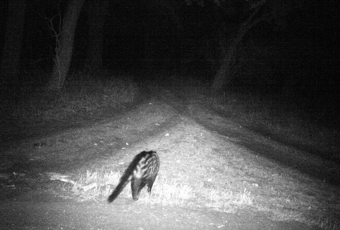What Goes Bump in the Night? AFRICAN CIVET!