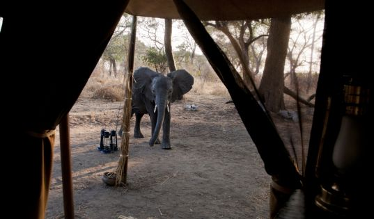 We often have visitors to camp at Chada Katavi. It is what makes this place so wild, just as it was when we arrived 20 years ago.