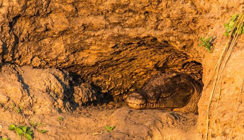 Katavi's crocs aestivate during the dry months, digging caves in the river banks where they slow their metabolism right down and wait for the rain.