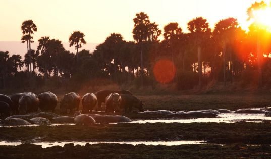 As the dry season progresses, hundreds of hippos congregate in the remaining available water. It is quite a spectacle.
