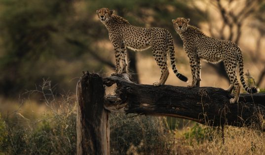 A pair of brothers, surveying their wilderness in Ruaha National Park.