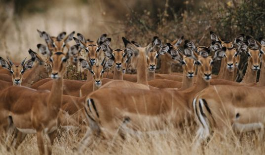 A herd of curious impala in Ruaha National Park.