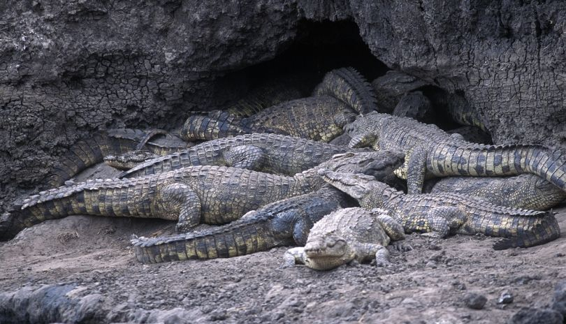 Crocodiles aestivate in deep caves dug in the river banks in Katavi National Park.