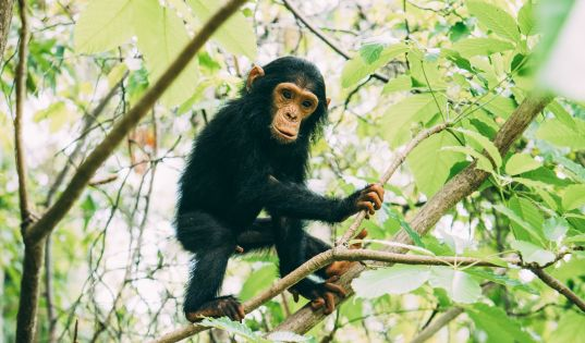 A young member of the M community of chimpanzees in the Mahale Mountains.