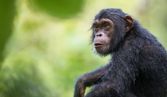 Young Figaro, an orphan who spends his days learning the ropes and vines of Mahale from his mentor Bonobo.