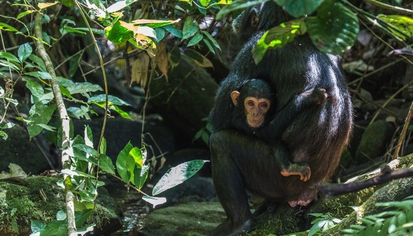 Tender moments with the chimps of the M Group. Picture: Henrik Egede-Larsen