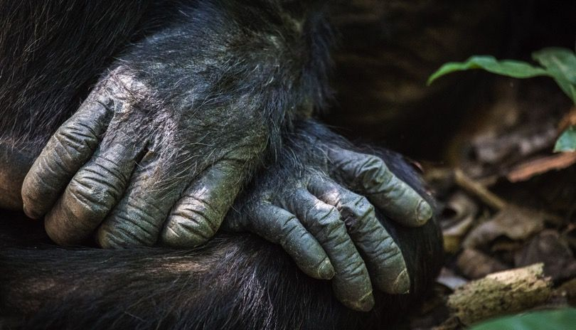 Up-close and personal with wild chimpanzees. Picture: Henrik Egede-Larsen