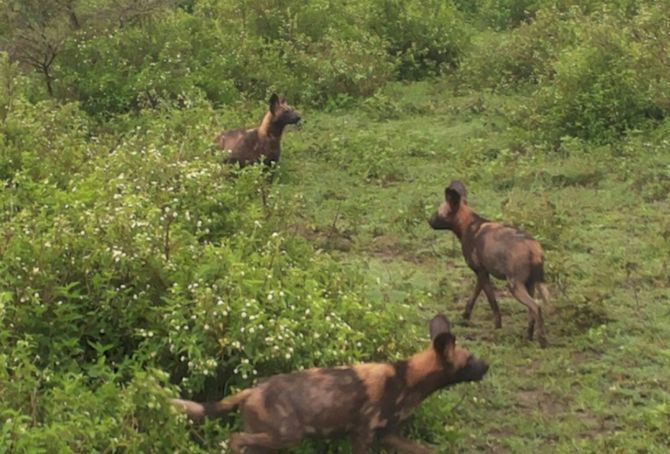 Move over, wildebeest! The wild dogs are in town.