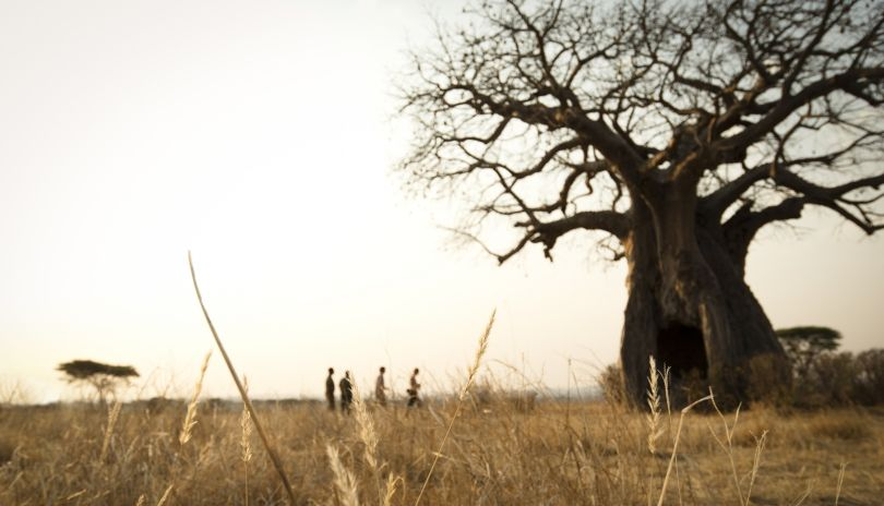 Walking in Ruaha National Park, dwarfed by ancient baobabs.