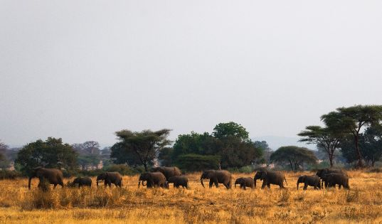 Eles are such a feature of Kigelia and the Ruaha experience