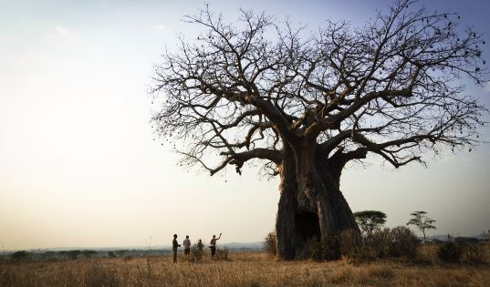 Approach the big old giants of the bush with humility, especially the baobabs