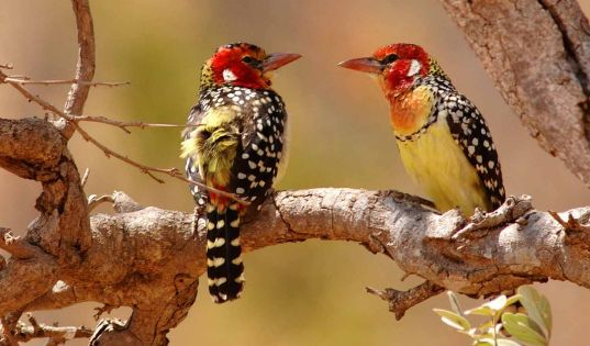 Tarangire has the highest number of breeding pairs of birds in Africa, it is a true birders paradise.
