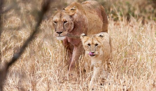 A young lion cub and lioness in Tarangire National Park.