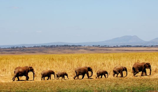 Tarangire National Park is known for its impressive population of elephants, and boasts the second highest concentration of mammals after the Serengeti National Park.