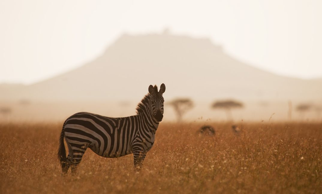 A zebra glowing in the morning light in the Serengeti National Park.