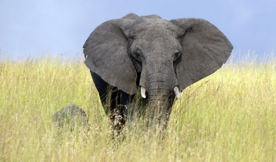 Elephant in the Serengeti National Park.