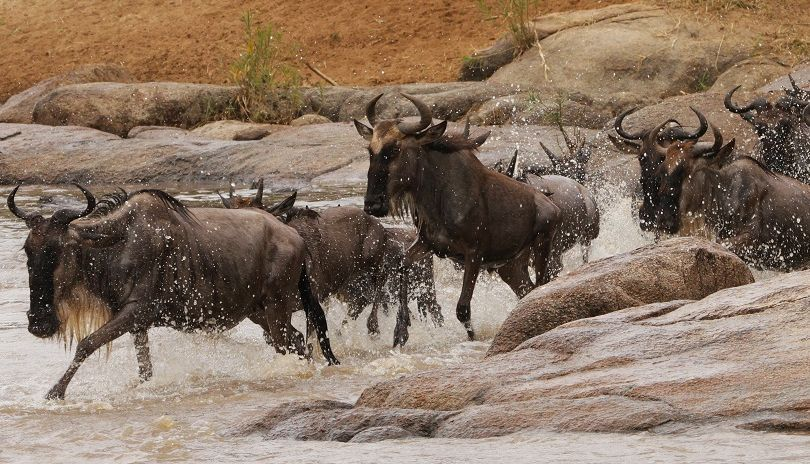 Wildebeest thunder across the Mara River, dodging the jaws of giant crocodiles in their continual search for greener pastures. Credit - Trevor Holden.