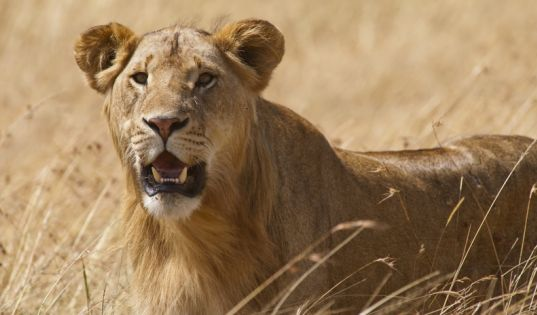 The area surrounding Lamai Serengeti is home to incredible resident big game year round.