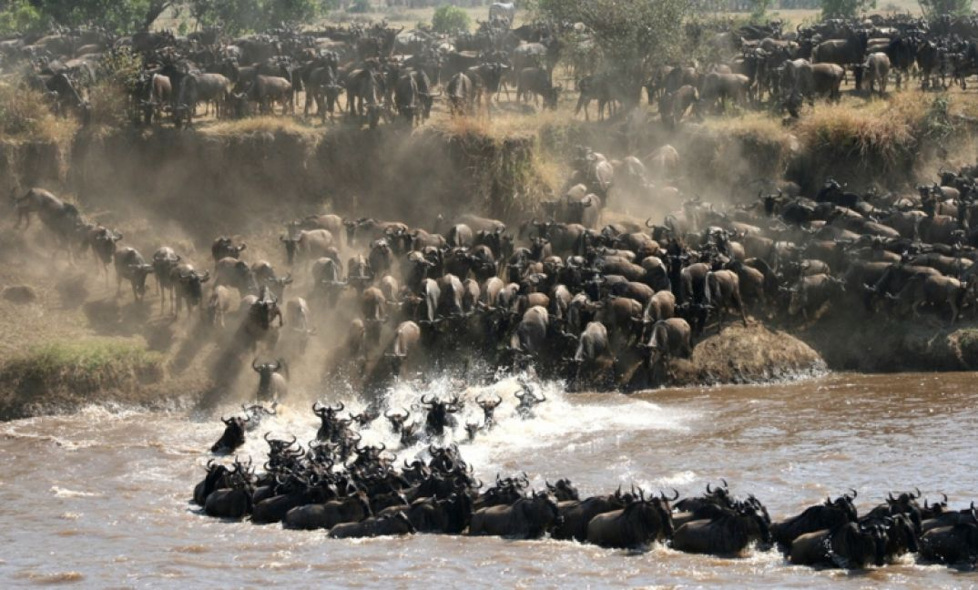 Wildebeest thundering across the Mara River.