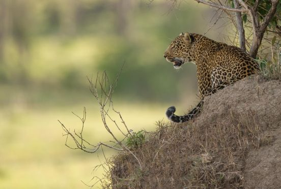 A leopard in the Kogatende area around Lamai Serengeti.