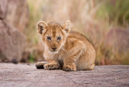Lion cub in the Northern Serengeti.