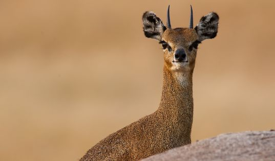 A klipspringer in the Northern Serengeti.