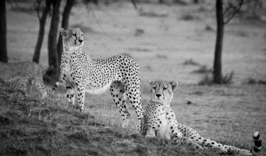 Cheetah making the most of a higher vantage point near Lamai Serengeti.