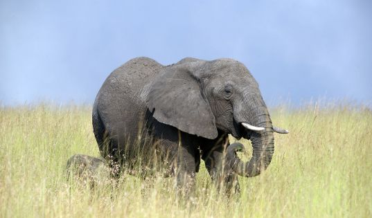 Elephant in the northern Serengeti.