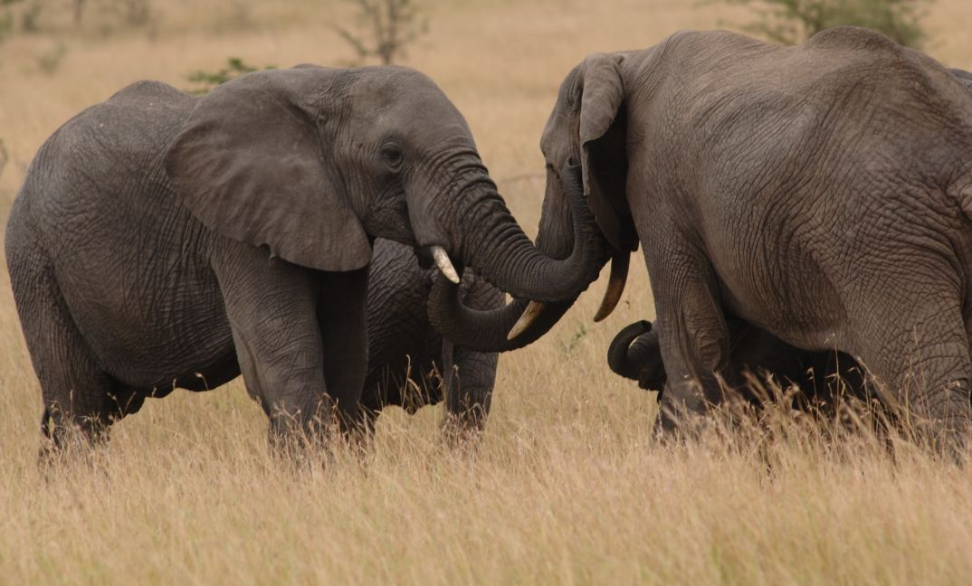 Elephants greeting in the Serengeti National Park.