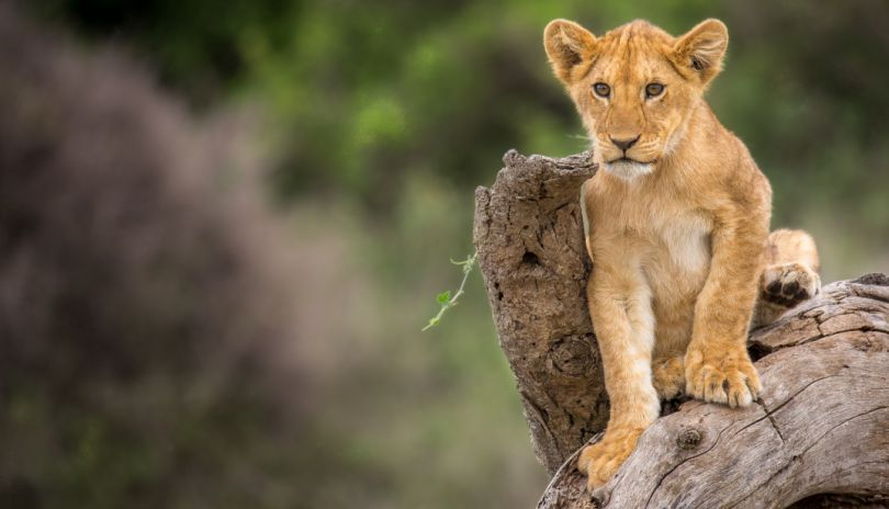 A curious lion cub surveying the plains in the Serengeti National Park.