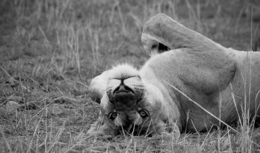 A relaxed lioness in the Ngorongoro Crater.
