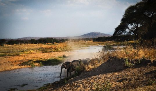 Ruaha is known for very large herds of elephants, sometimes numbering in their hundreds.