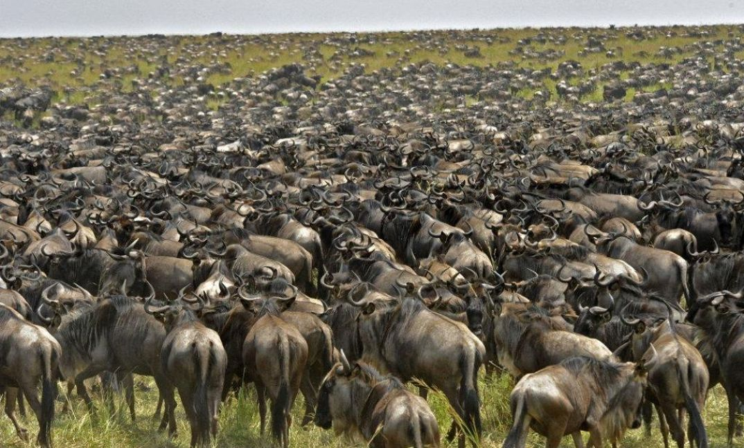 The main event - the wildebeest migration in the Serengeti National Park.