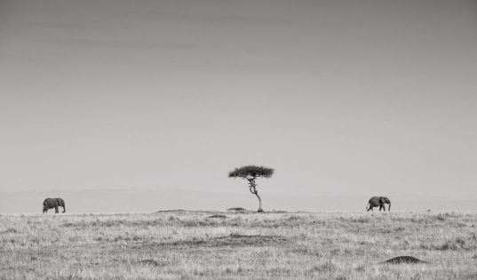 Iconic scenes with iconic giants and endless horizons in the Serengeti National Park.