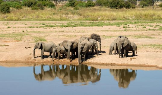 Elephants gather at the waters edge in Ruaha National Park.