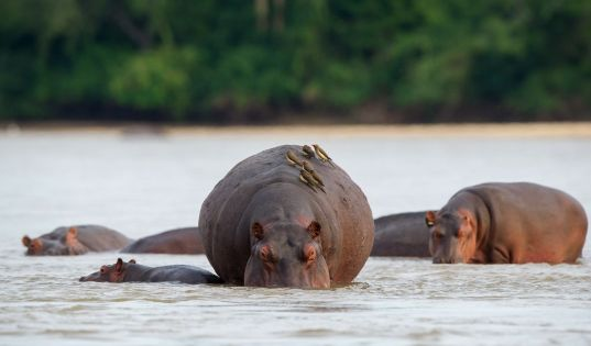 Pod of hippo wallow in the shallows of the river.
