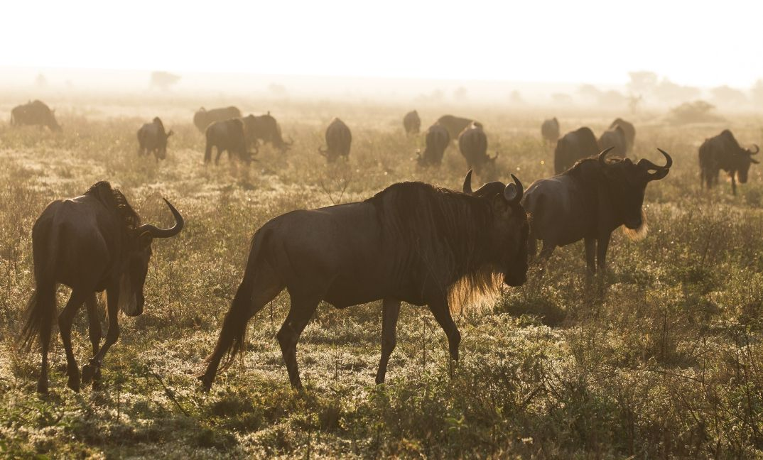 Wildebeest gather on the short grass plains of the southern Serengeti to have their calves between February and March.