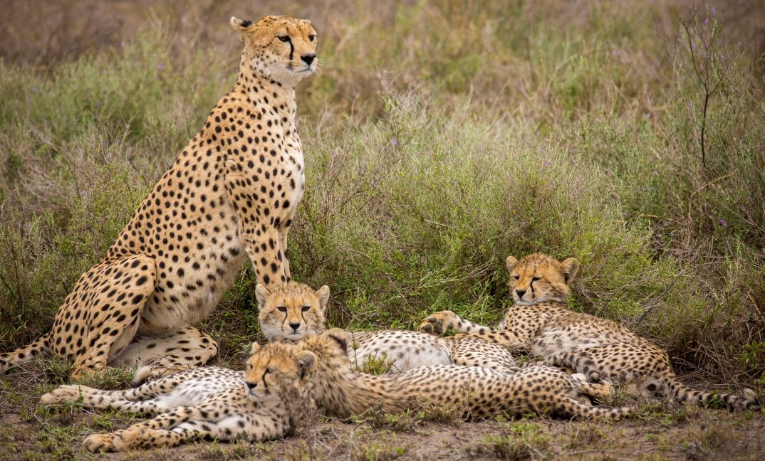 A cheetah family in the Serengeti National Park.