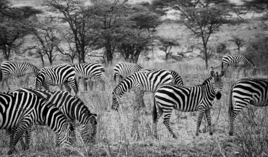 Zebra herds gather in the Serengeti and move with the migrating wildebeest throughout the ecosystem.
