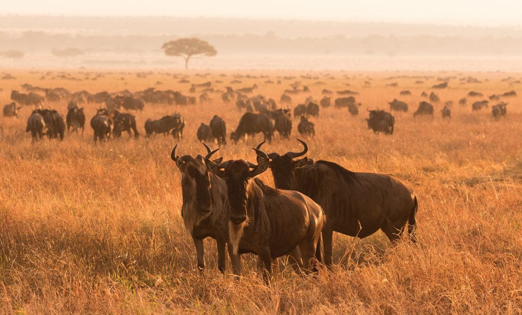 Wildbeest in the early morning light close to Serengeti Safari Camp.