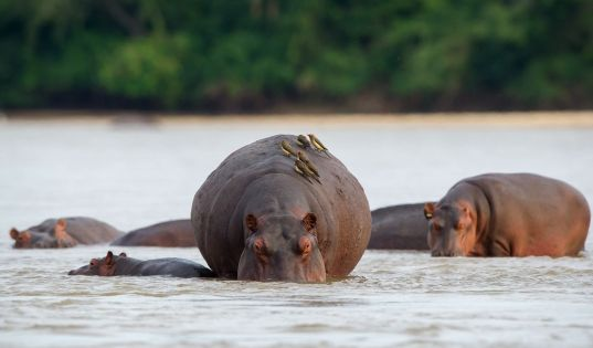 Basking pods of hippo in the mile-wide Rufiji River.