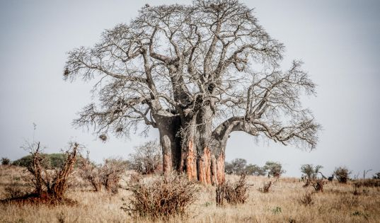 Baobabs, this lands standing stones.