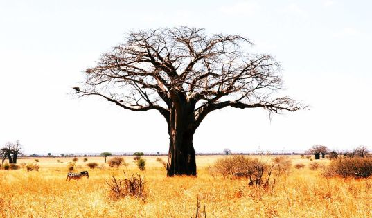 Tarangire is the land of giants, plains stretch towards the horizon and are dotted with ancient baobab trees.
