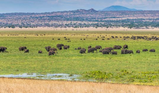 Tarangire is home to an astonishing amount of big game, which concentrates around the Silale Swamp in the dry season.