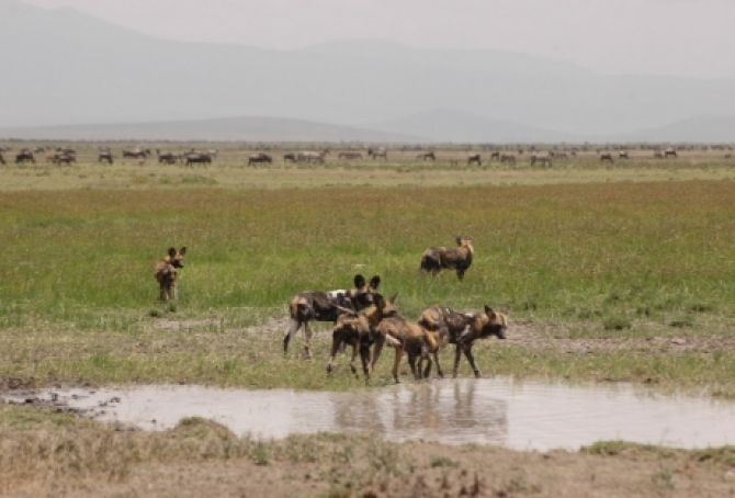 Wild Dogs in the Serengeti